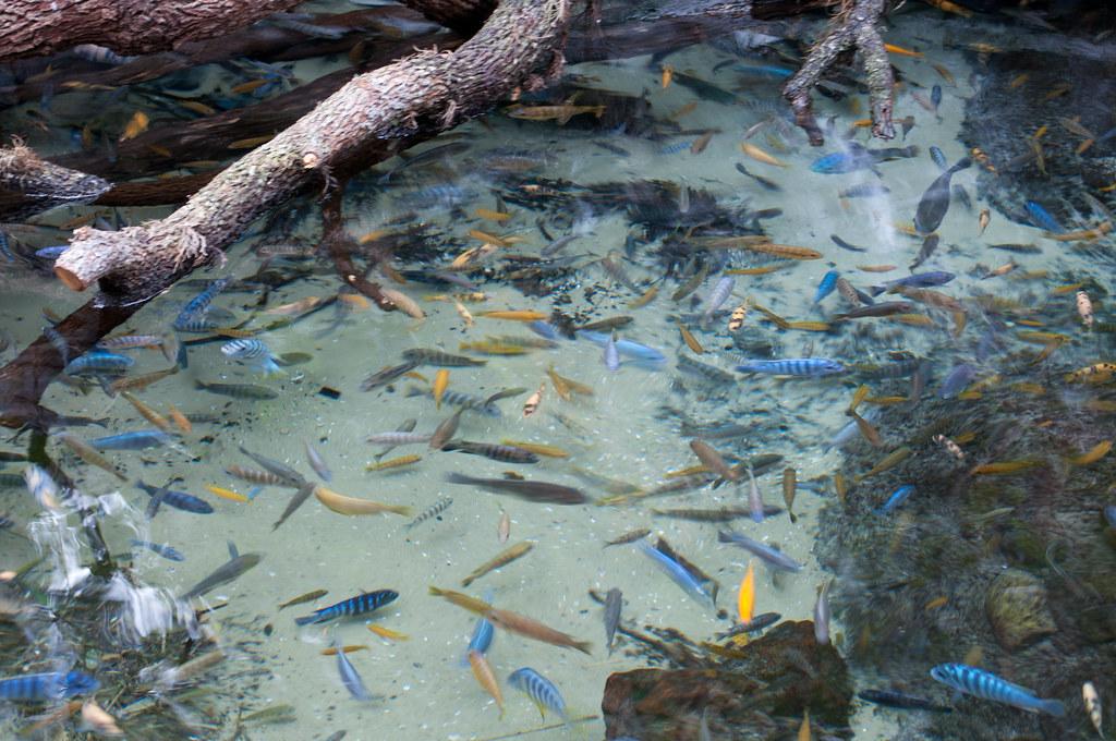 Cichlid pond one of many located inside animal kingdom for Koi pond aquarium