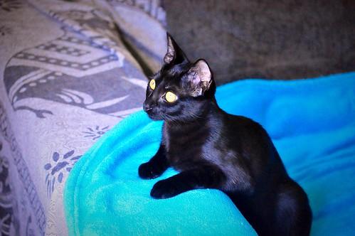 Selva, gatita Pantera guapa, estilizada y divertida esterilizada, nacida en Mayo´16, en adopción. Valencia. ADOPTADA. 29987840186_192792c214