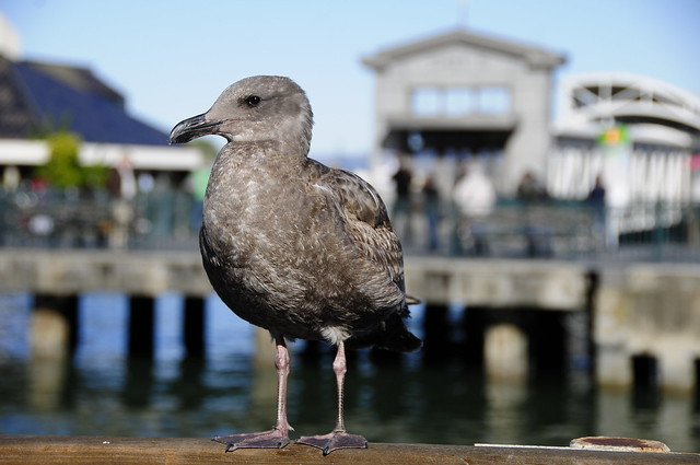 Female seagull - photo#20