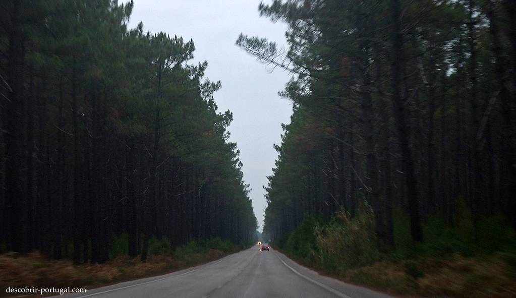 Route traversant la pinède