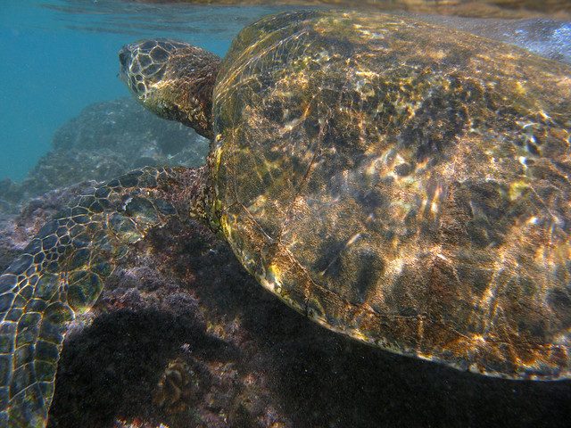 swimming with giant sea turtles in maui flickr photo