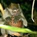 fotos-malasia-macaco de Bako, Sarawak