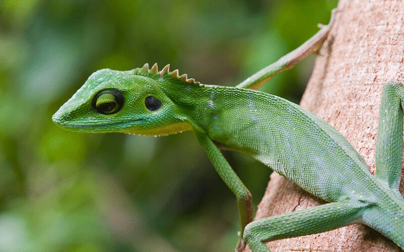 green crested lizard gif | Animation: A green crested ...