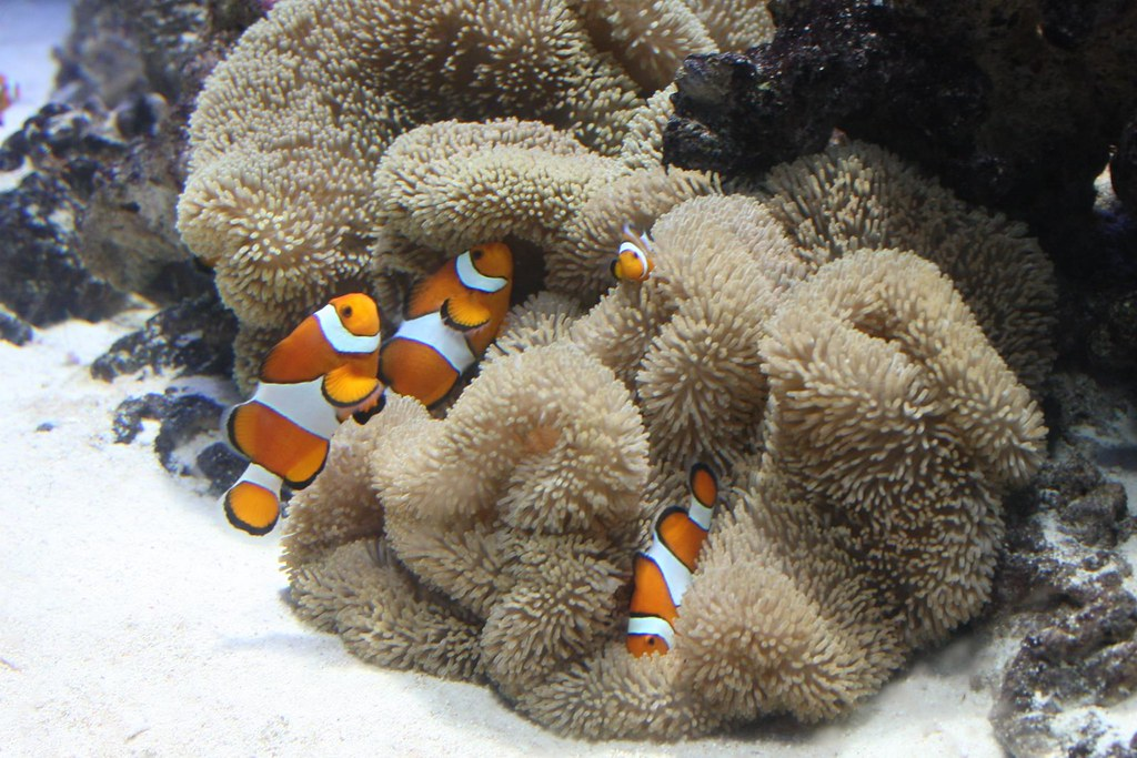 Clownfishes | Nikita | Flickr