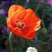 Papaver 'Orange Chiffon' backlit