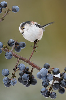 Long-tailed Tit (Aegithalos caudatus) | by m. geven