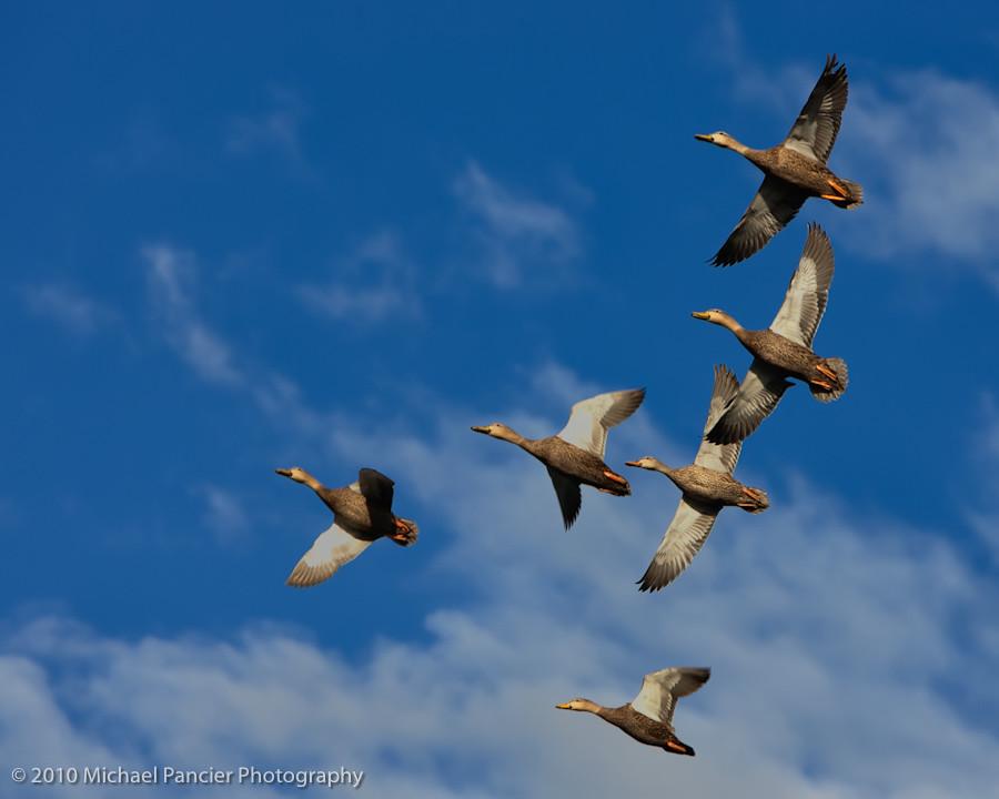 Duck Season | Flock of Mottled Ducks flying over ...  Flock