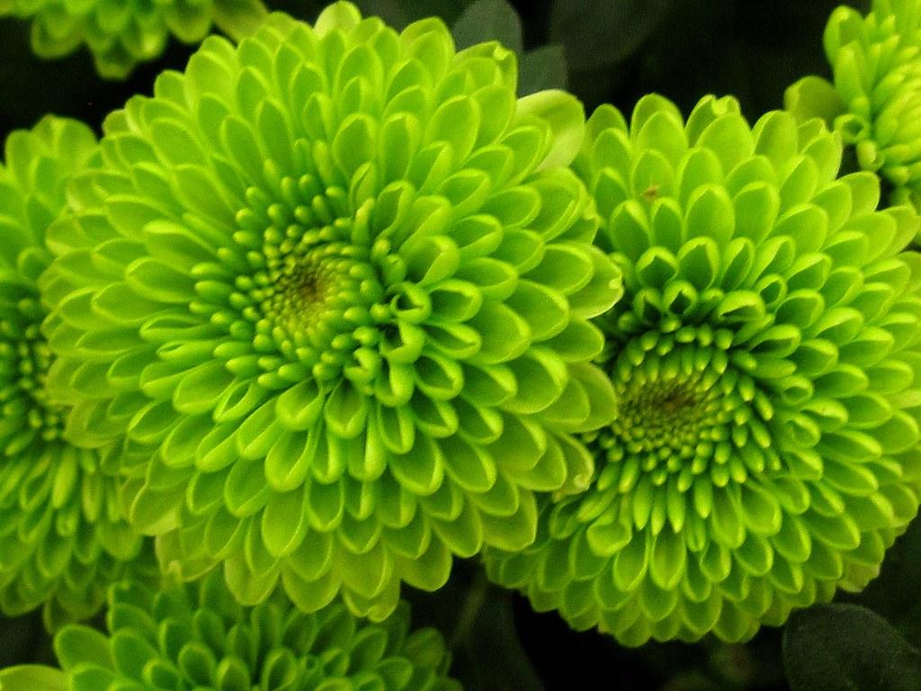 All Green Chrysanthemum Flowers Miami FL USA Thanks ever…