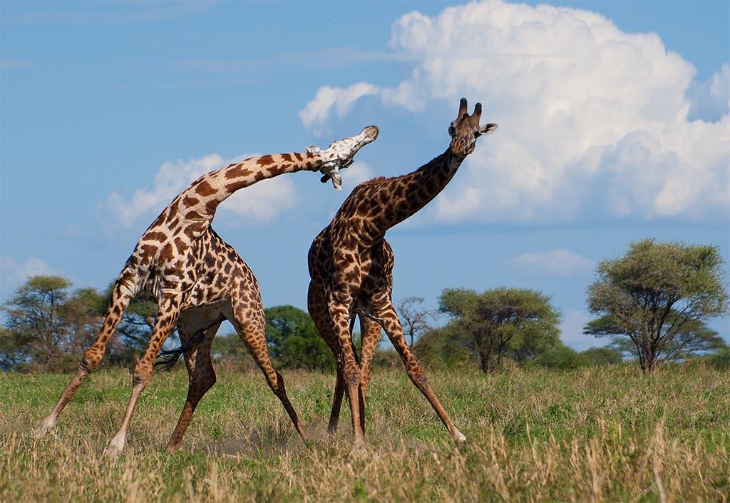 жирафа сердце фото