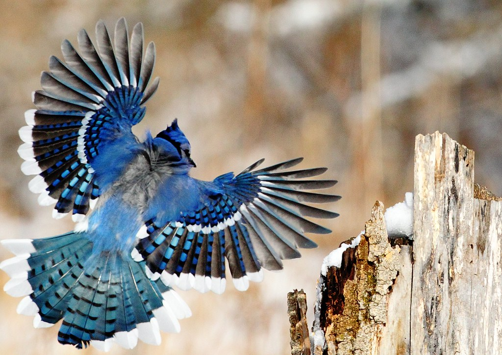 blue jay landing ken hipp flickr