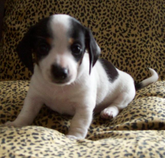 Black & tan piebald dachshund puppy female smooth coat | Flickr ...