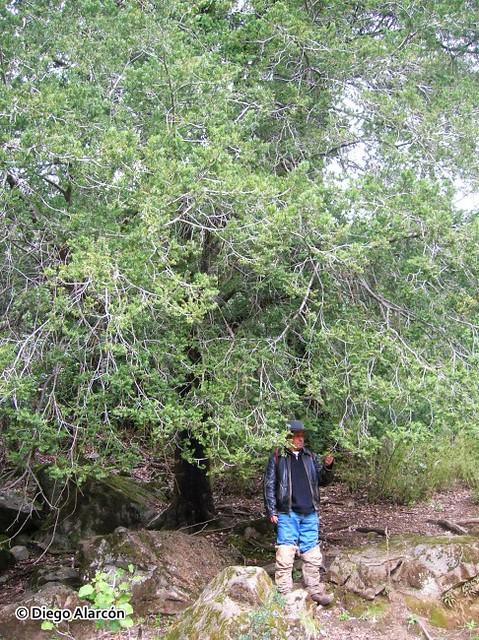 Hábito del árbol de Lleuque, Prumnopitys andina