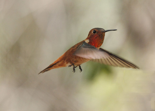 Rufous Hummingbird | by jhaskellus