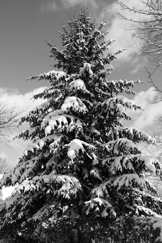 snowy pine tree in black and white the neighbors pine