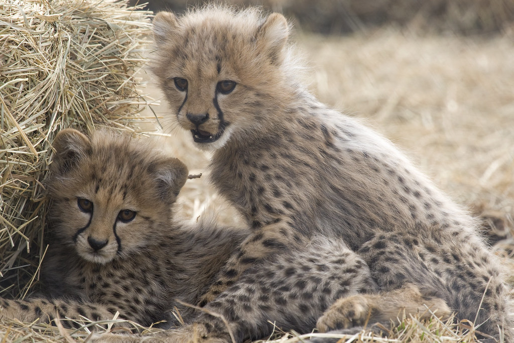 National Zoo S Cheetah Cubs Go Outside For The First Time