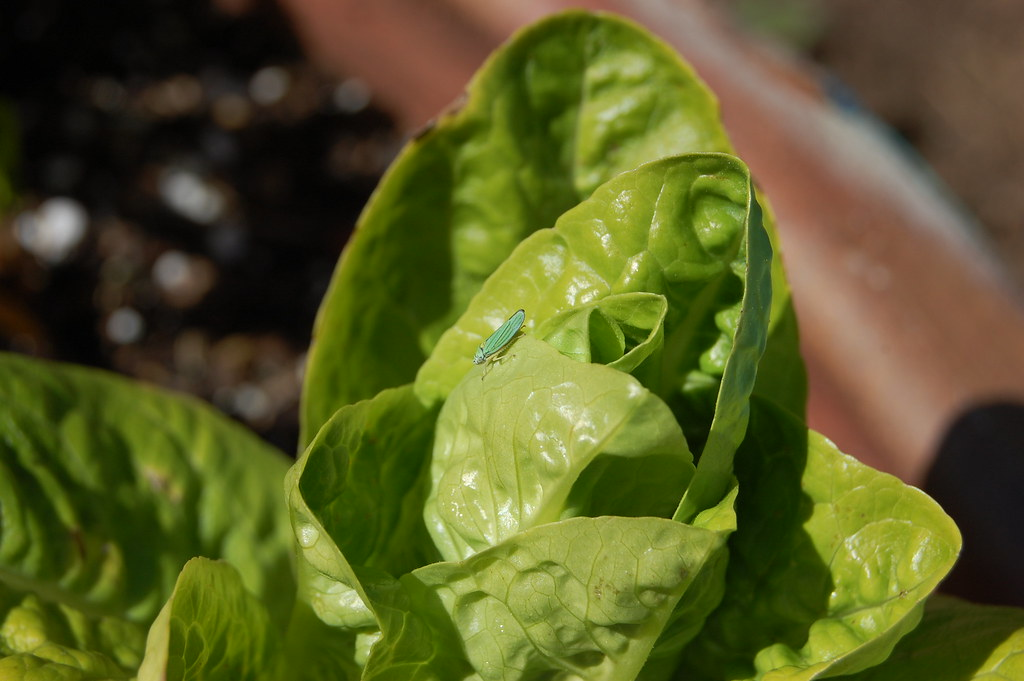 Little Gem Lettuce & Mystery Bug
