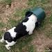 Headless (curious!) beagle pup