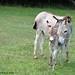 The Daily Donkey 37