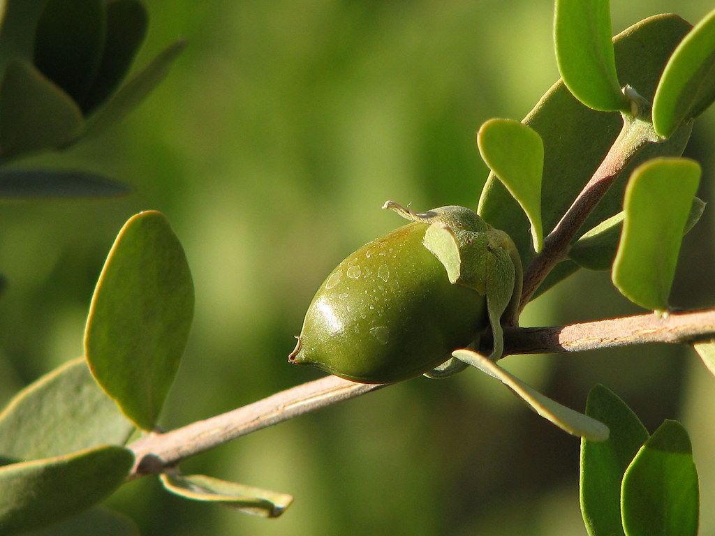 Jojoba Seed Oil For Natural Hair