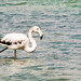 Wild White Flamingo