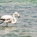 Wild White Flamingo