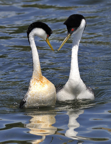 Western Grebes courting | by Leslie Scopes Anderson
