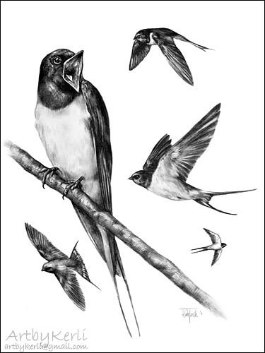 Barn Swallow   Hirundo Rustica, the national bird of Estonia ...