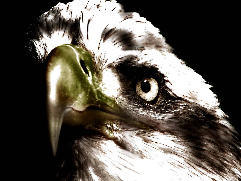 Bald Eagle Bald Eagle At The Phoenix Zoo I Wish The