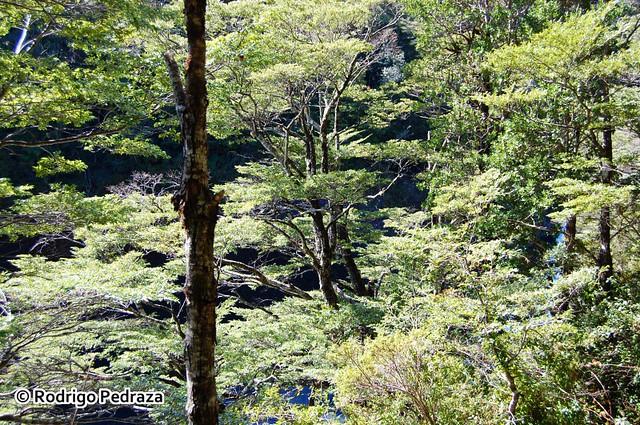 Bosque de Coihue, Nothofagus dombeyi