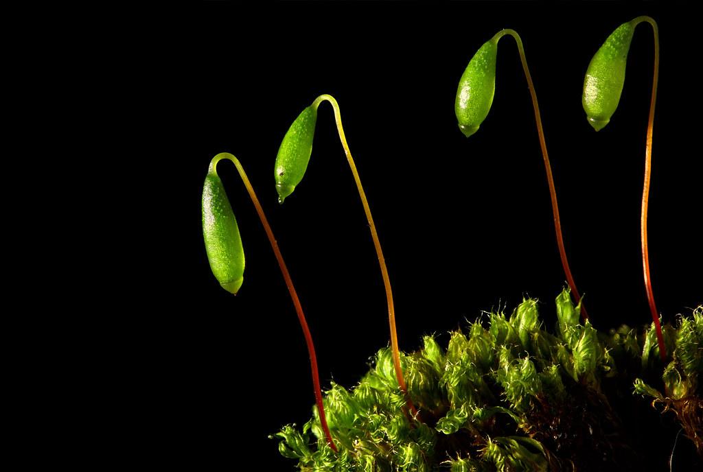 Moss Sporophytes
