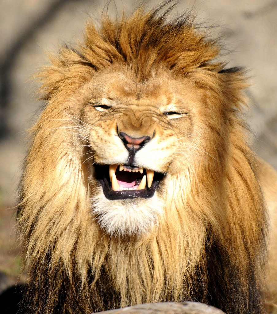 Lion laughing at me | I was laughing right back at him ...