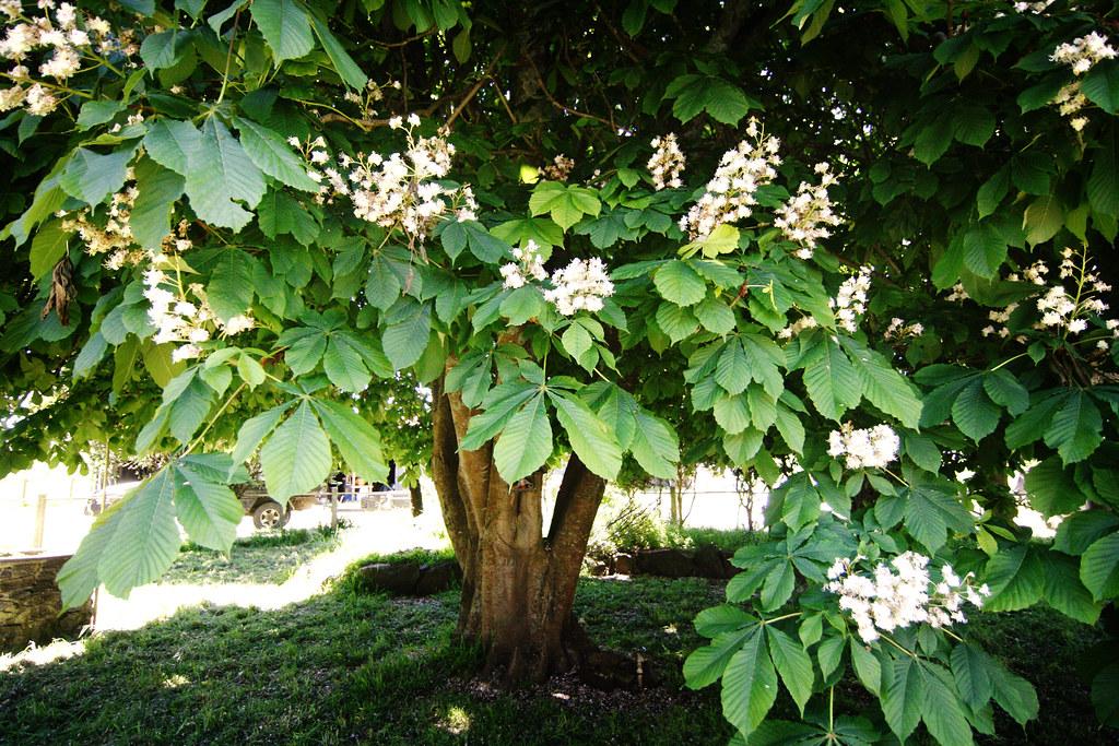 White horse chestnut tree flowering   Emma Durkin   Flickr