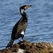 Corvo-marinho-de-faces-brancas (Phalacrocorax carbo)