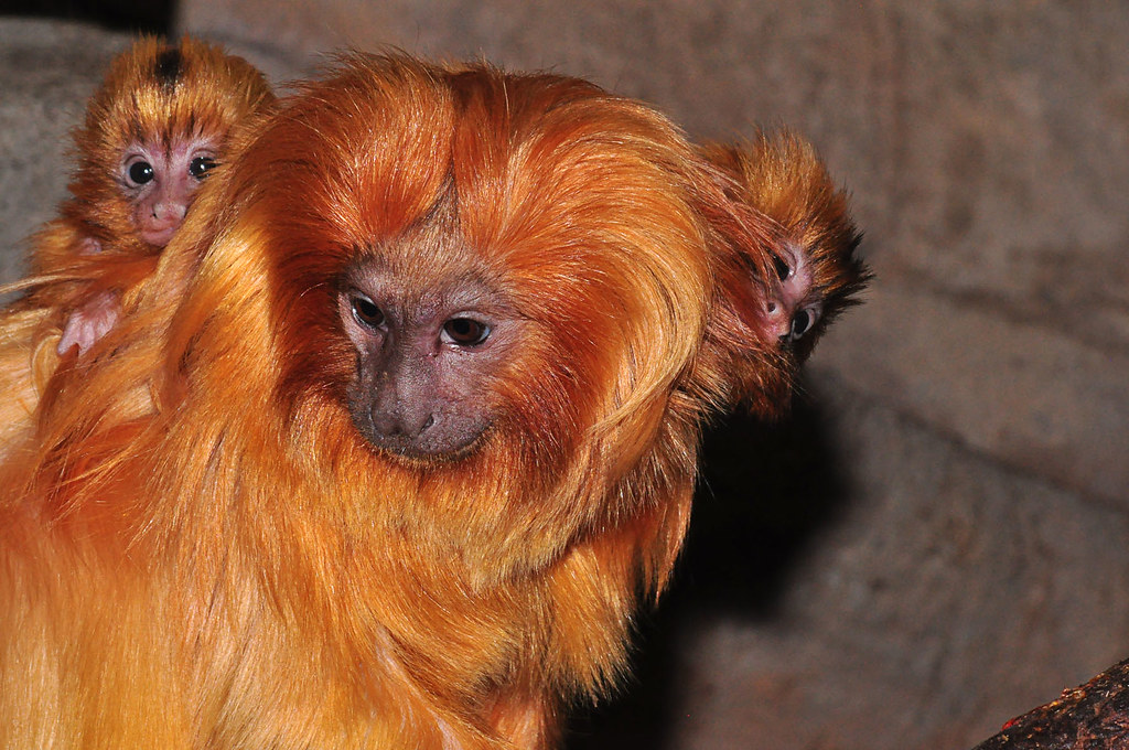 golden lion tamerin The golden lion tamarin, one of the world's most striking mammals, is so-called because of the beautiful mane of silky golden hair.