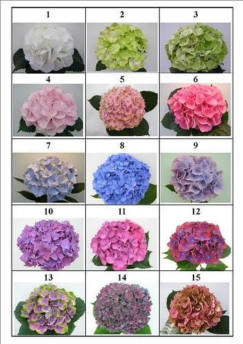 Ortensie colori tabella colori ortensie by casolare - Ortensie colori ...