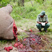 South Africa - KwaZulu Natal - Opathe Game Reserve - A game ranger surveys the beheaded carcass of a white rhino shot by poachers for its horns