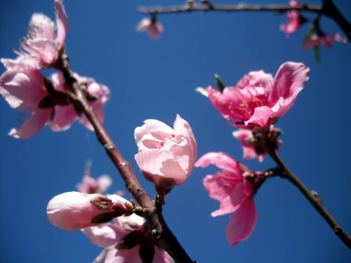 Peach Blossoms | by jenniferworthen