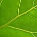 Leaf Structure XI