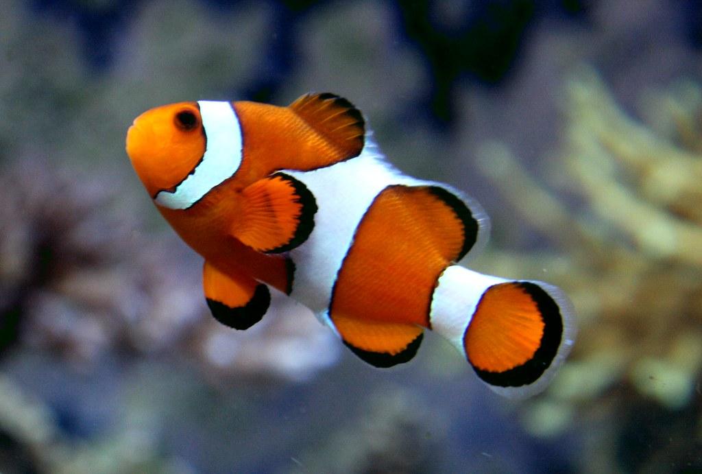 Nemo . Ocellaris Clownfish . Kelly Tarlton's Underwater Wo ...
