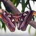 Mating Atlas Moths