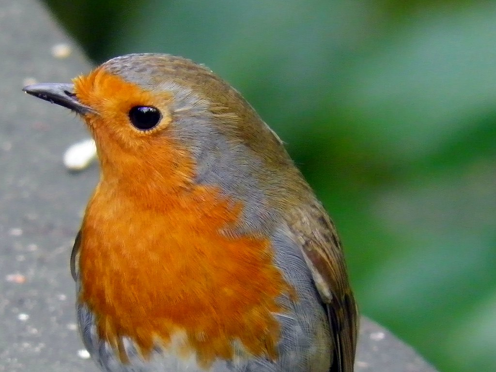 Robin Red Breast The European Erithacus Rubecula Flickr
