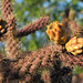 Cane Cholla Fruits