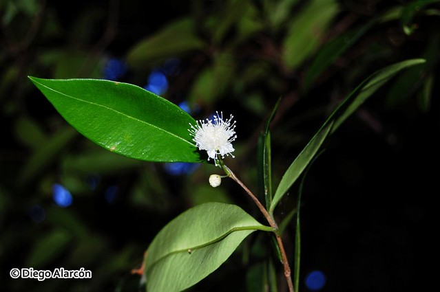 Myrceugenia planipes