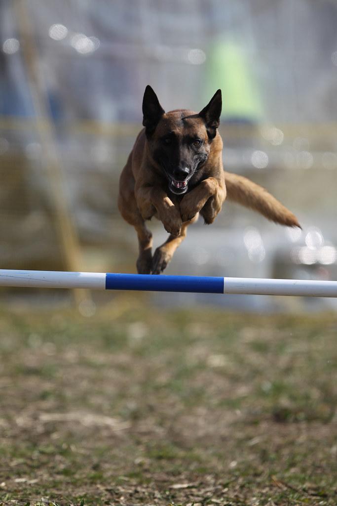 Belgian Malinois Dog Rescue