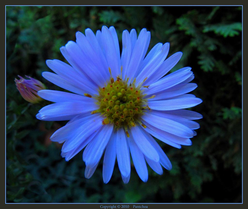 Blue Aster Aster Azul Aster Bleu