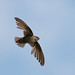 Chimney Swift09