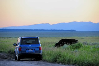 In which a real live buffalo investigates my giant blue buffalo-car | by JasonBechtel