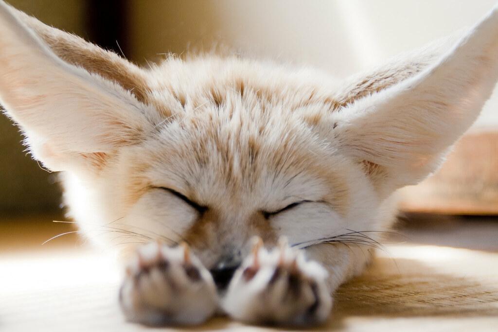 Sleeping Fennec Fox Sponge Jikai Takeuchi Flickr