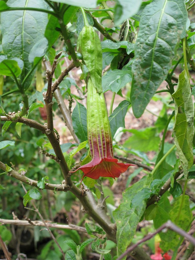 Brugmansia sanguinea 2...