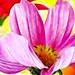 Cosmos Blossom Macro Fractalius